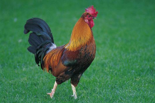 1A a a a chicken