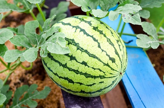 Seedless Watermelon GMO?